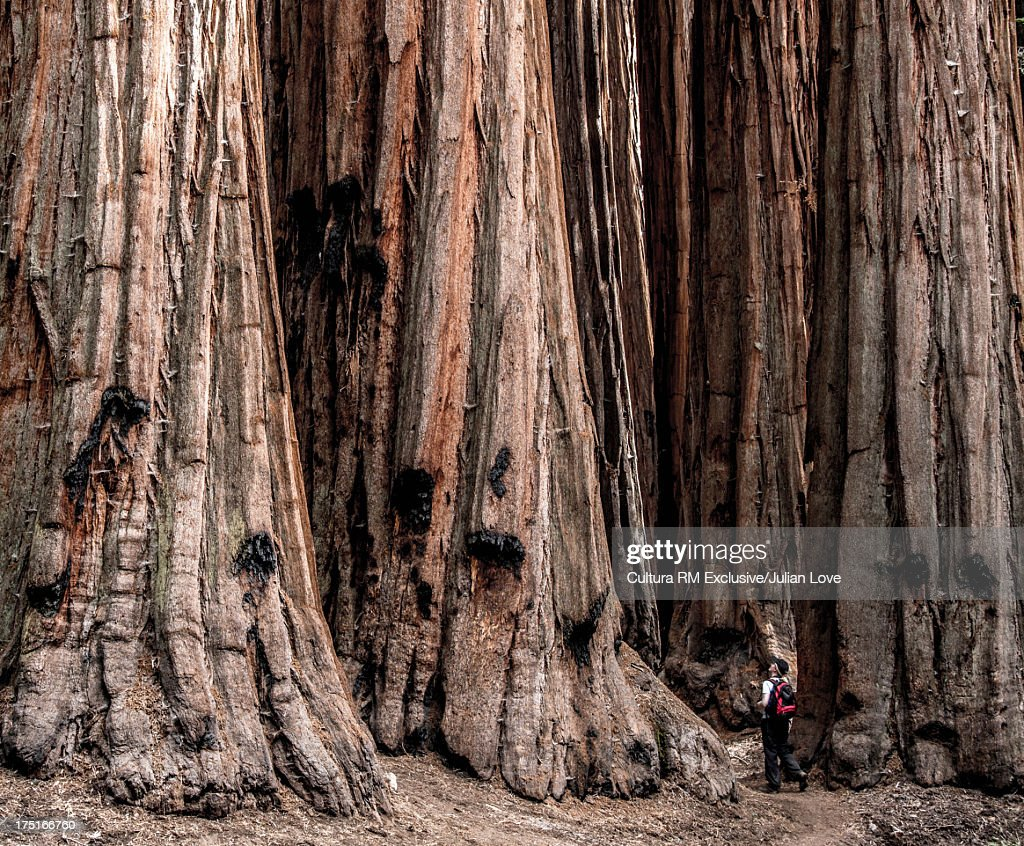 Man and giant redwood trees, California, USA