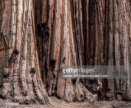 Man and giant redwood trees, California, USA