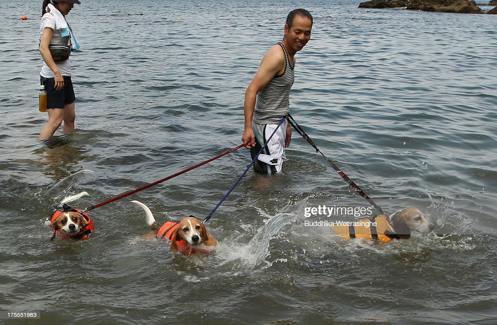 A man and his pet dogs bath in the water at Takeno Beach on August 4, 2013 in Toyooka, Japan. This beach is open for dogs and their owners every summer between the months of June and September. .