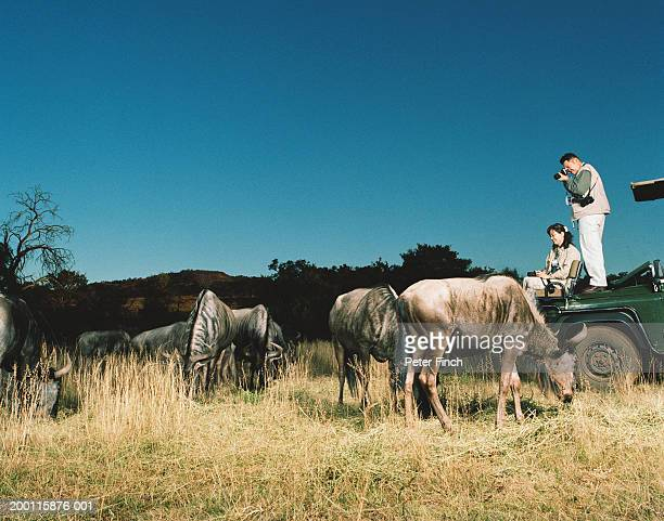 Man and woman on back of safari truck photographing herd of wildebeest