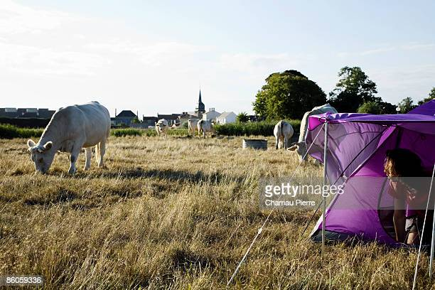 Man camping in field with cows
