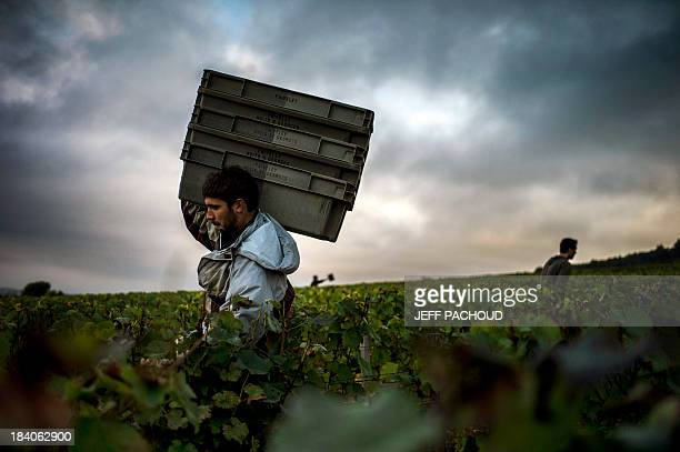 A man carries crates to be filled with grapes in Faiveley in NuitsSaintGeorges during the harvest period on October 7 2013 AFP PHOTO / JEFF PACHOUD