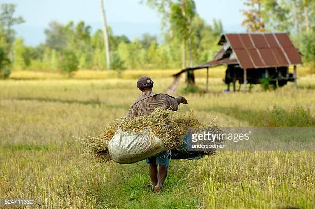 男性写真家米タイで収穫