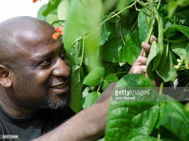 Man checking beans on the vine