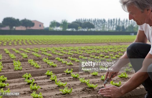Man checking lettuce plug in freshly planted field : Stock Photo