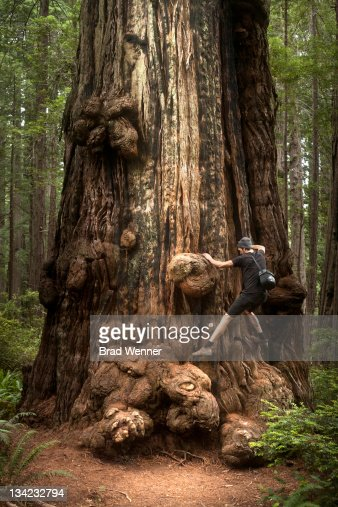 Man climbing redwood tree : Stock Photo