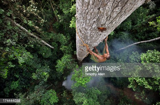 Man climbs tall forest tree using a liana rope