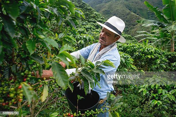 Man collecting colombian coffee