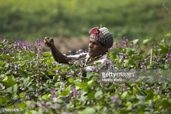 A man collects beans from his garden Ruhitpur in Dhaka Bangladesh January 5 2009