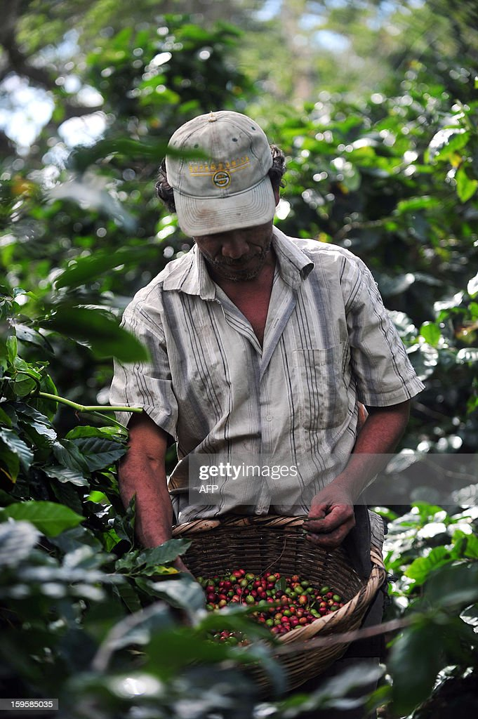 A man collects coffee beans in a farm at Cuatro Esquinas town, in Diriamba, some 32 km south of Managua, on January 16, 2013. AFP PHOTO/Hector RETAMAL