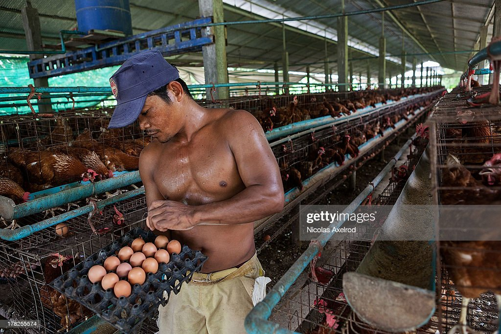A man collects eggs from chickens in holding pens at an egg farm south of Phnom Penh on August 26, 2013 in Preak Palap, Kandal Province, Cambodia. Cambodia has seen the worst out break of Avian influenza H5N1 since the disease was first identified, so far this year 17 cases have been report, 10 of which have been fatal.