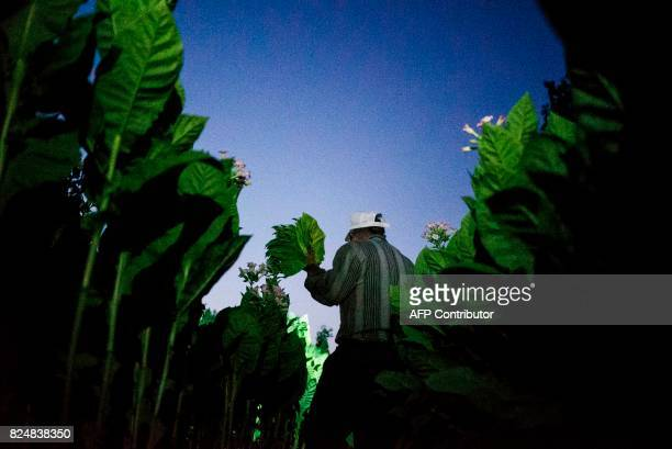A man collects tobacco leaves in the early morning to escape the summer heat on July 12 2017 near the village of Karchovsko southeast of the...