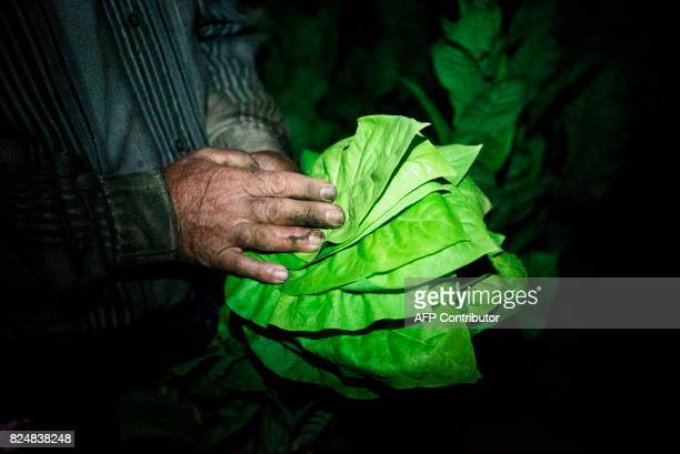 A man collects tobacco leaves using a flashlight in the early morning to escape the summer heat on July 12 2017 near the village of Karchovsko...