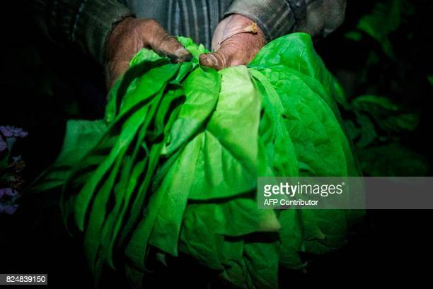 A man collects tobacco leaves using flashlight in the early morning to escape the summer heat on July 12 2017 near the village of Karchovsko...