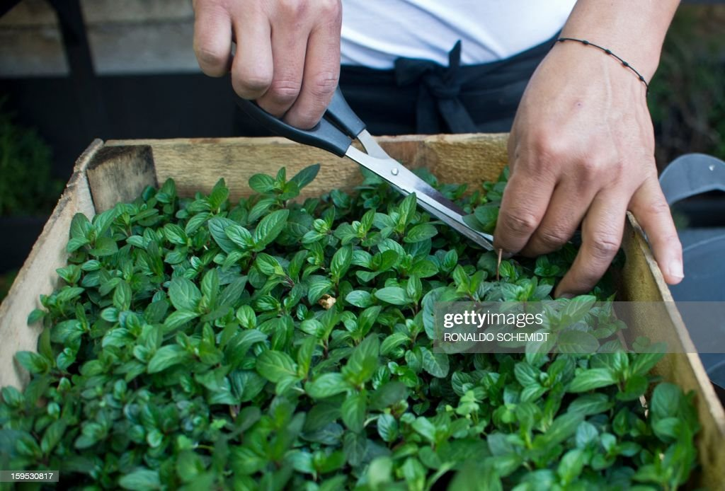 A man cuts an aromatic plant to add flavor to recycled rain water, on the terrace of a house in Mexico City, on January 14, 2013. The 'Water House' company recycles and filters polluted rain water to be bottled and sold.