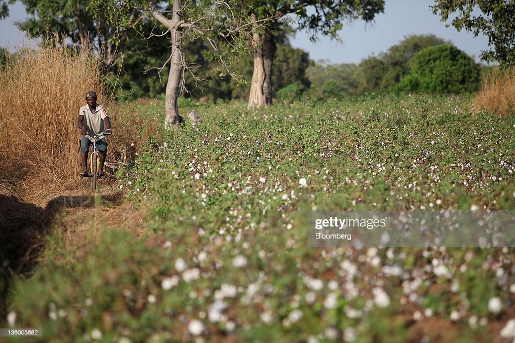 A man cycles along a dirt track and past a field of organic cotton plants near Benvar, Burkina Faso, on Friday, Nov. 11, 2011. In Burkina Faso, one of the poorest countries in the world, where child labor is endemic to the production of its chief crop export, paying lucrative premiums for organic and fair traden cotton has -- perversely -- created fresh incentives for exploitation. Photographer: Chris Ratcliffe/Bloomberg via Getty Images