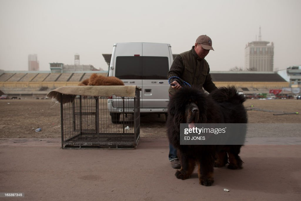 A man displays a Tibetan mastiff dog for sale at a mastiff show in Baoding, Hebei province, south of Beijing on March 9, 2013. Fetching prices up to around 750,000 USD, mastiffs have become a prized status-symbol amongst China's wealthy, with rich buyers across the country sending prices skyrocketing. Owners say the mastiffs, descendents of dogs used for hunting by nomadic tribes in central Asia and Tibet are fiercely loyal and protective. Breeders still travel to the Himalayan plateau to collect young puppies, although many are unable to adjust to the low altitudes and die during the journey. AFP PHOTO / Ed Jones