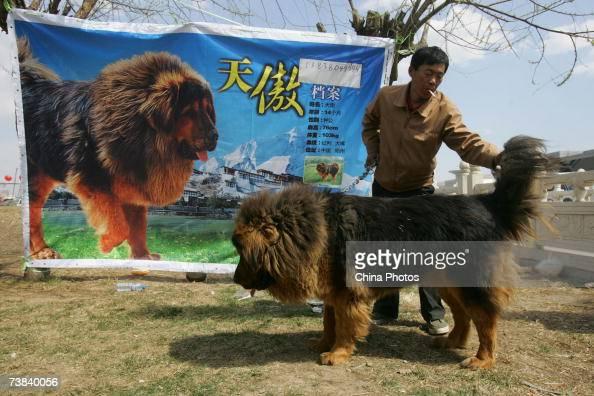 A man displays a Tibetan Mastiff he raised during the Tibetan Mastiff exposition on April 7 2007 in Langfang of Hebei Province China Tibetan Mastiffs...