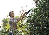 Man doing yard work, trimming shrub