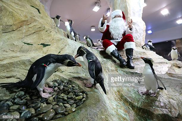 A man dressed as Santa Claus poses with royal penguins on December 21 2016 at the theme park of Marineland in Antibes southeastern France / AFP /...