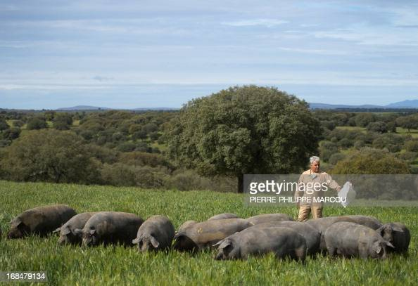 A man drives Iberian black pigs foraging in a wide green field near Santa Teresa on May 7 2013 The exquisite cured ham produced from this breed which...