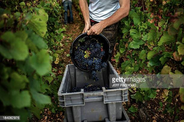 A man empties a bucket of grapes into a crate in Faiveley in NuitsSaintGeorges during the harvest period on October 7 2013 AFP PHOTO / JEFF PACHOUD
