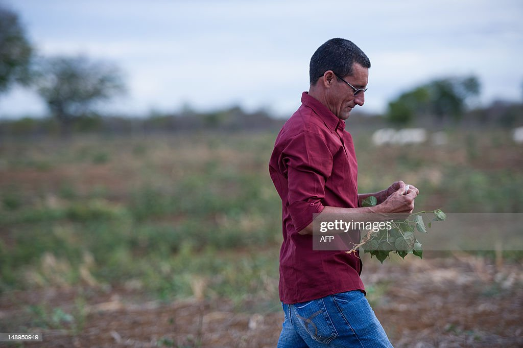 A man examines a cotton plant while he walks by his cotton field hit by drought in Apodi, state of Rio Grande do Norte, Brazil on June 29, 2012. AFP PHOTO/Yasuyoshi CHIBA