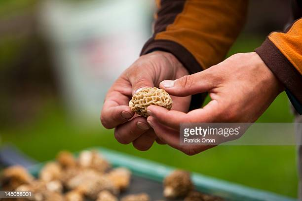 A man examines a freshly picked morel mushroom in Montana.