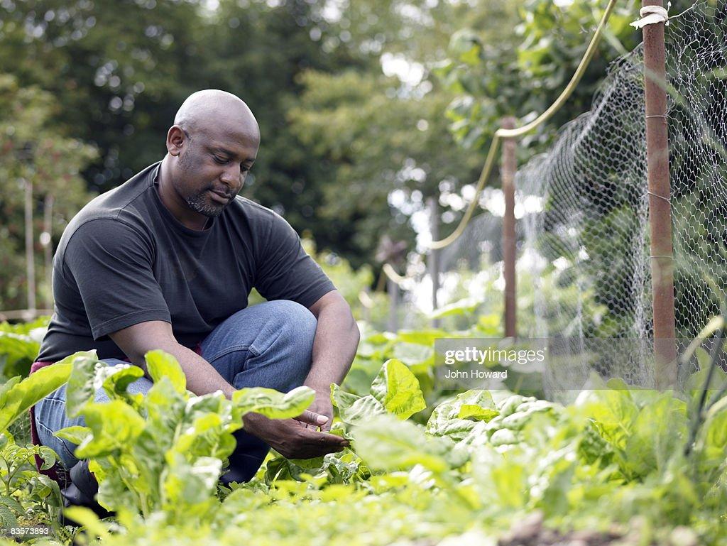 Man examining fresh produce on alottment : Stock Photo