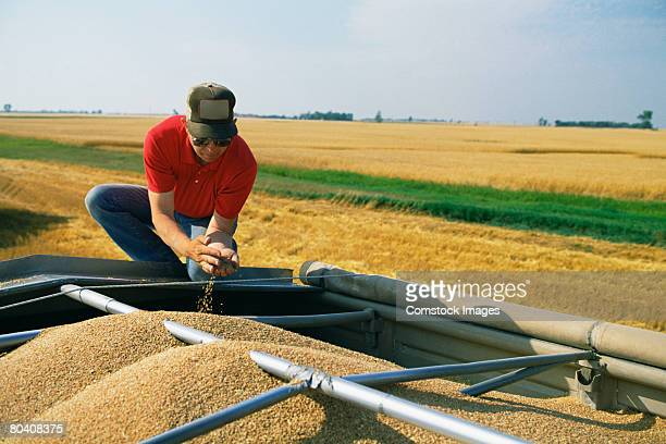 Man examining harvested grain