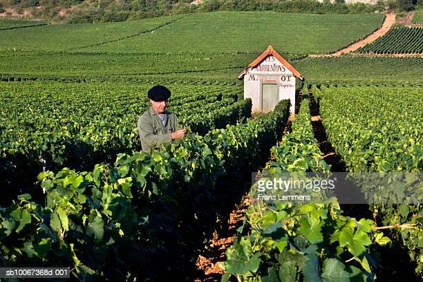 Man examining plants in vineyard
