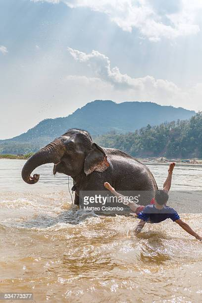 Man falling from an elephant in the Mekong river