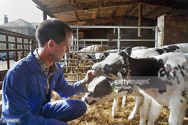 Man farmer in boiler suit on farm with calves