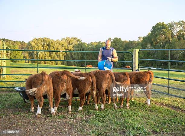 Man Feeding Corn To Hereford Calves in Evening