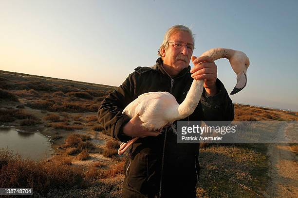 A man from The Green Brigade of Gruissan rescue a flamingo from the shore of a French lake before it succumbs to freezing weather conditions on...