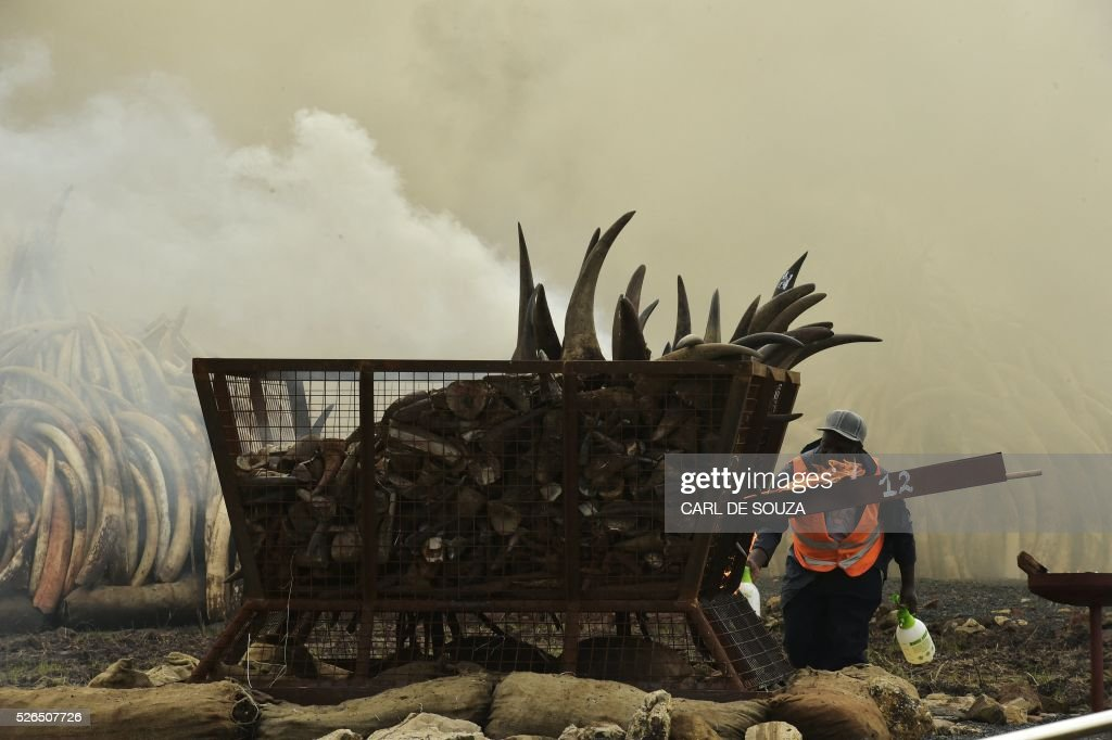 A man gets ready to set fire on Rhinoceros horns next to several ivory burning stacks at the Nairobi National Park on April 30, 2016. Kenyan President Uhuru Kenyatta set fire on April 30, 2016, to the world's biggest ivory bonfire, after demanding a total ban on trade in tusks and horns to end 'murderous' trafficking and prevent the extinction of elephants in the wild. / AFP / CARL