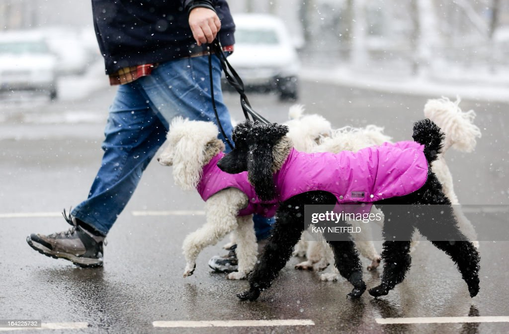 A man goes for a walk with four puddles wearing winter jackets in Berlin's Kreuzberg district on March 21, 2103.