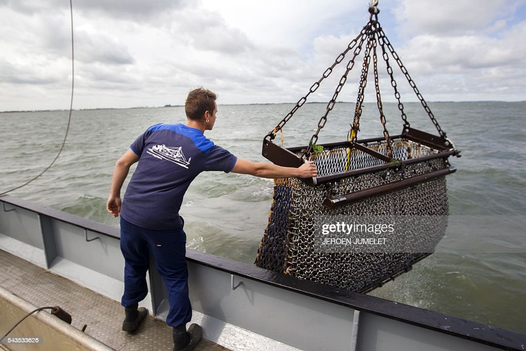 A man grabs a mussels' basket, the first catch of the year, in the Oosterschelde in Yerseke on June 29, 2016. It marks the start of the mussels' season. / AFP / ANP / JEROEN JUMELET / Netherlands OUT