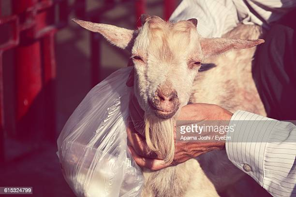 Man Hands Stroking Goat Looking At Camera
