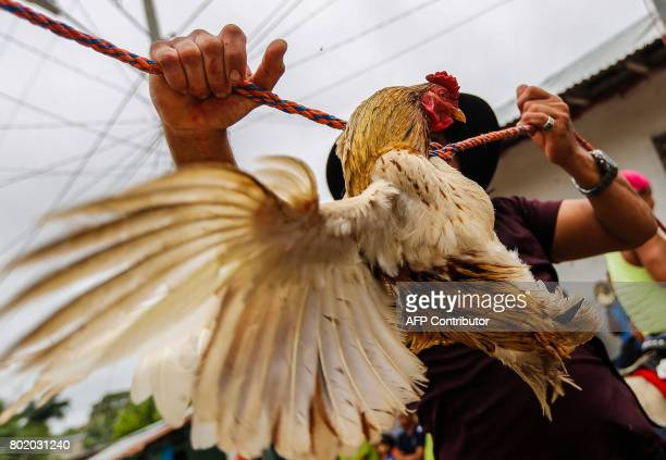 A man hangs a rooster from a rope across the street during celebrations in honour of Saint John the Baptist in the town of San Juan de Oriente...