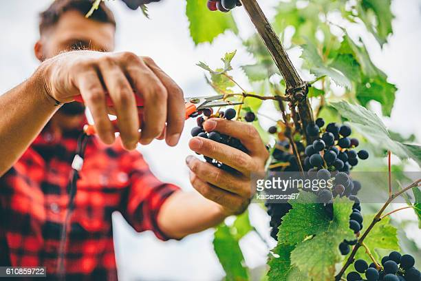 man harvesting in vineyard