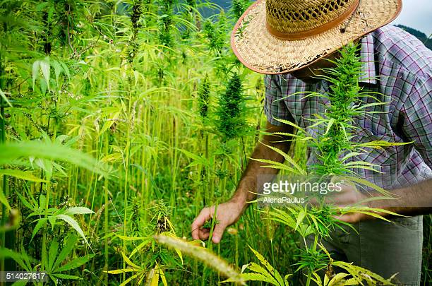 Man harvesting medical marijuana