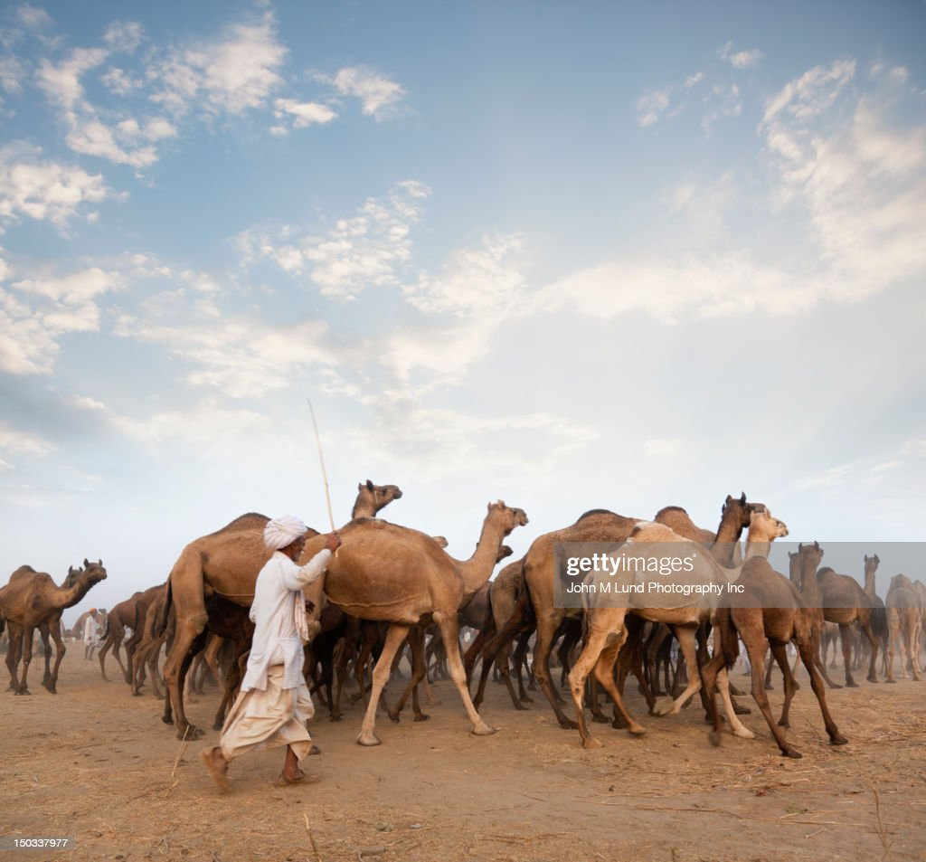 Group Of Camels 64