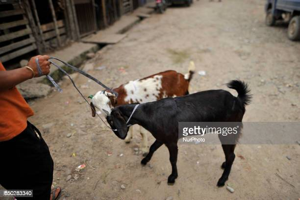 A man hold his goats to sell for the Dashain the biggest religious festival of Hindus in Nepal on Wednesday September 20 2017 at livestock market...