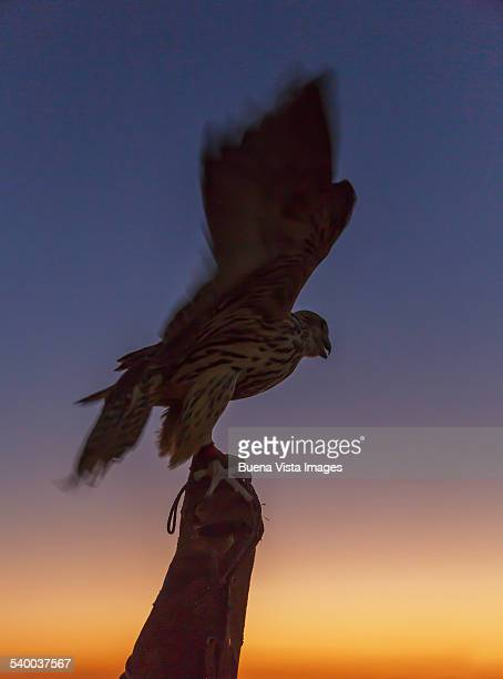 Man holding a Falcon at sunset