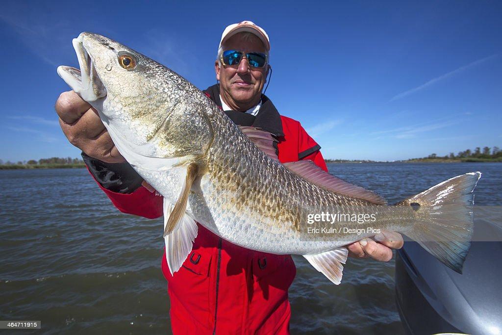 Man Holding A Redfish (Sciaenops Ocellatus) : Stock Photo