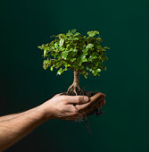 Man holding  bonsai tree sapling, view of hands, studio shot