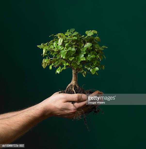 Man holding  bonsai tree sapling, view of hands, studio shot