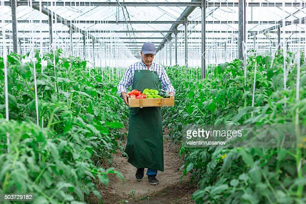 Man Holding box Of  Vegetables in Greenhouse