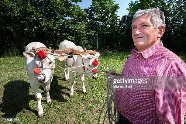 Man holding chianina bulls with yoke and red bows